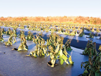 Uncovered crops (above) are a complete loss during freezing temperatures (25˚F).